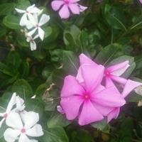 紫茉莉种子九月能种吗?紫茉莉种子