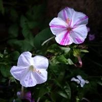 紫茉莉的播种量一亩地用多少斤种子?
