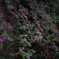 紫茉莉种子埋多深?