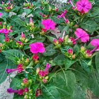 紫茉莉种子播种几天能发芽?