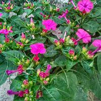 冬天可以种植紫茉莉吗?