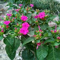 南方紫茉莉什么时间种植?