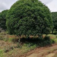 大小规格广西桂花 可供全国桂花 可供广东桂花 桂花树价格基地