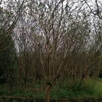 優質特價紫薇 大小規格紫薇 廣西紫薇樹產地直銷