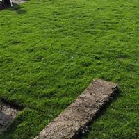 园林绿化草皮马尼拉草卷