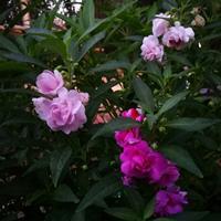凤仙花可以移栽吗?