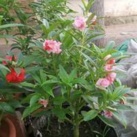 哪里有园林重瓣凤仙花种子?凤仙花有香味吗?
