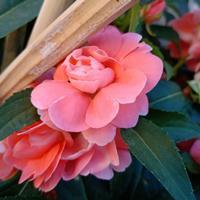 重瓣凤仙花播种后大概多久开花?