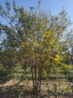 供應叢生樸樹4-6米