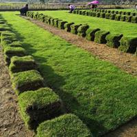 优质马尼拉草坪草卷那里多