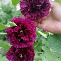大花秋葵和蜀葵是一种植物吗?