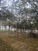 基地供应1一30公分朴树
