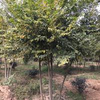 供应朴树 丛生朴树