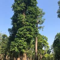 廣州廣大花木基地低價供應一米到一米五直徑秋楓重陽木