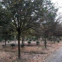常年供应安徽红榉  榉树  精品红榉