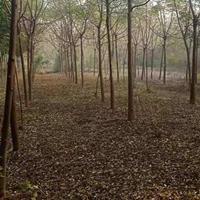 大量批發出售鄉土樹種苦楝樹  苦楝綠化用樹 沭陽百度花木