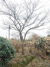 鸡爪槭D15---D18公分