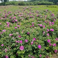 四季玫瑰工程苗,四季玫瑰50公分哪里有供應?