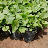 二月蘭種植基地二月蘭報價價格  諸葛菜價格