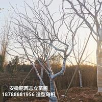 安徽造型乌桕基地