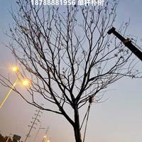安徽肥西單桿樸樹