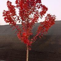 紅冠紅楓基地種植 品優價廉 別名
