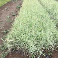 玉带草种植基地  玉带草批发价格玉带草
