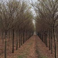 榉树 榉树 榉树  江苏榉树 红榉树