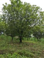 供应从生香泡柚子树