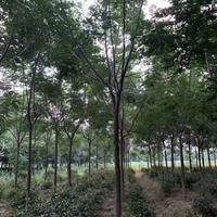 江蘇苦楝樹 苦楝價格直銷 苦楝供應
