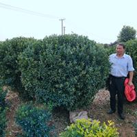 大葉黃楊球價格 江蘇冬青球價格 江蘇大葉黃楊球供應
