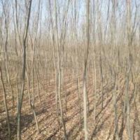 安徽紅櫸  精品紅櫸  合肥櫸樹