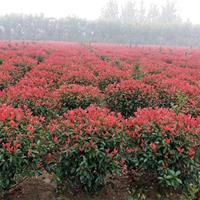 江苏红叶石楠球基地 红叶石楠球价格 大小规格红叶石楠球专供