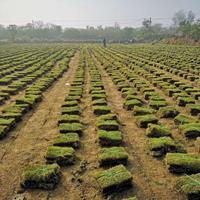 馬尼拉價格_馬尼拉草坪圖片_馬尼拉產地_馬尼拉草坪基地