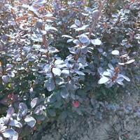 紫叶小檗价格_紫叶小波产地_紫叶小檗绿化苗木苗圃基地