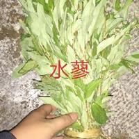 水生植物  水蓼 红蓼