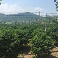江蘇桂花價格 大小規格四季青 金桂 丹桂供應