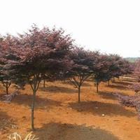 江蘇紅楓價格 中國紅楓基地 大小規格紅楓 紅楓供應