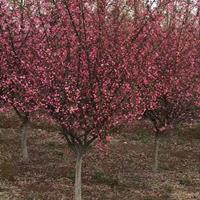 常年供应地径(米径)5公分、8公分、9公分、10公分垂丝海棠