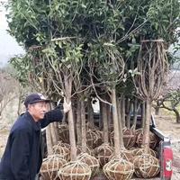 江蘇桂花樹行情/桂花樹產地/桂花樹介紹及時新價格