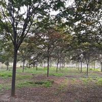 常年供應米徑(胸徑)5公分、8公分、12公分、15公分櫸樹