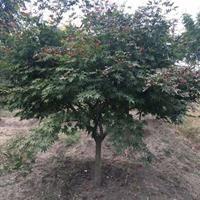 常年供应地径3公分、6公分、9公分、12公分中国红枫