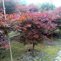 大量出售红枫、红枫价格、红枫图片、红枫种植基地