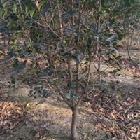 安徽桂花 红榉 三角枫  乌桕  红叶李 红叶石楠  朴树