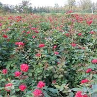 高度40公分、60公分、80公分等规格红帽月季
