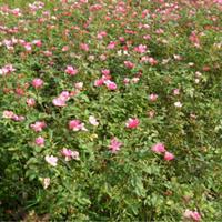 丰花月季、丰花月季图片、丰花月季价格、种植基地
