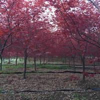 大量出售日本紅楓、日本紅楓基地、日本紅楓圖片,價格