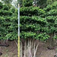漳州造型榕樹價格 高度3米 冠幅1.6米 2米 頭經50公分