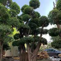 小葉榕樹樁景高度5米6米 冠幅2.5米3米 頭經80公分以上