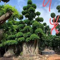 小葉榕樹樁景7米8米9米冠幅2米3米4米 頭經1米1.8 米